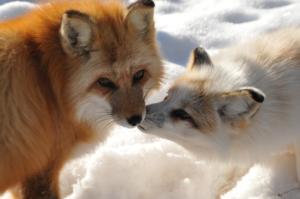 Rescued Fox Colorado