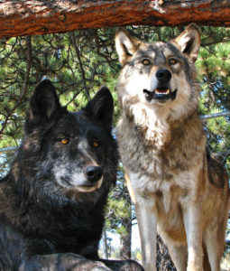 Rescued Wolves Rocky Mountain Wildlife Foundation