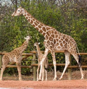 Denver Zoo giraffe encounter