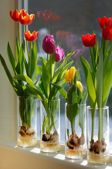 tulips in container garden
