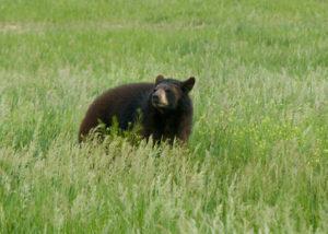 Rescued bear Wild Animal Sanctuary Colorado